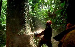 Oerwoudreuzen worden op grote schaal gekapt. Deze foto is uit het district Keerom (Papua)
