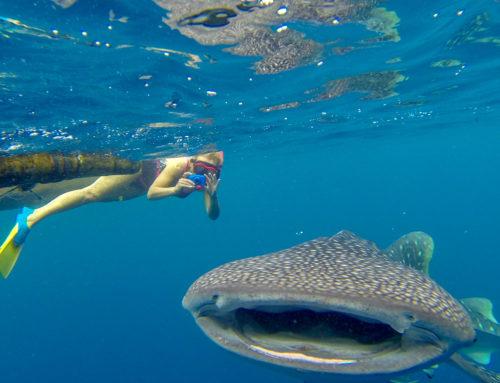 Snorkelen met de walvishaai in de Cenderawasih Baai van Papua